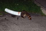 Silly raccoon stuck in a duct tube....