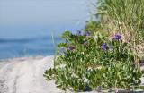 purple beach peas