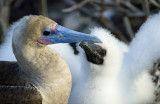 Redfooted Booby with Chick