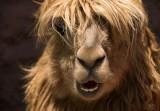 Fluffy...Alpaca