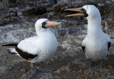 Two....Nazca Booby Birds