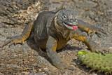 iguana full