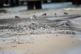 Sanderlings on the beach