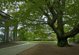 West Porch Beech Tree