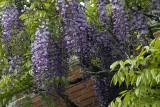 wisteria at Westbury Gardens