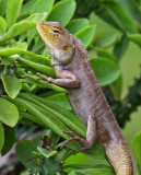 Changeable Lizard (Calotes versicolor)