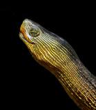 Chinese Golden Thread Turtles (Ocadia sinensis)