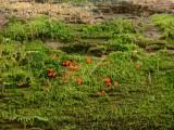 Gul ullklubba - Trichia decipiens