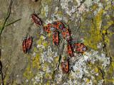 Eldlus - Pyrrhocoris apterus - Firebug