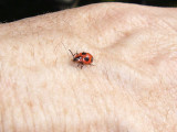 (Familjen svampbaggar) - Endomychus coccineus - Handsome Fungus Beetle or False Ladybird