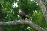 Bald Eagles [gallery]
