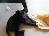 Sherlock the pup