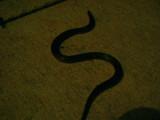 Wormsnake hunting at night