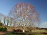 A  magnificent  silver  birch  tree.