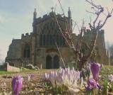 Crocuses  in  Edington  Priory  Churchyard.