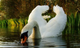 Images  of  swans  and  other  birdies.