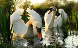 Swans  in  evening  light.