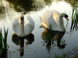 Swans, shadows  and  reflections.