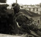 colombe parisien