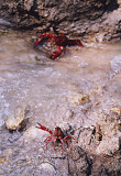 Fresh Water Lobster