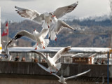 Seagulls in Lucerne/Luzern_5441.jpg