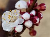 Apricot Blossom_0506.jpg