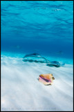 Stingrays and shell