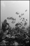 Schooling fish in B&W