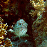 Spotted Grouper