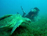 Turtle and diver