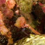Cheeky Pipefish