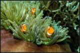 3 Nemos