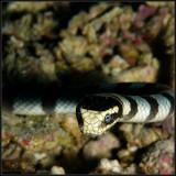Sea snake 2