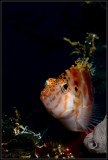 Tassled hawkfish