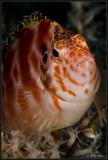 Tassled hawkfish 2