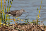 Grand chevalier -- Greater Yellowlegs