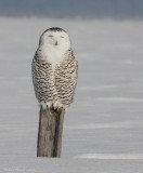 Harfang des neiges -- _MG_4884 -- Snowy Owl