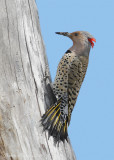 Pic flamboyant // Northern Flicker