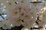 Subtle_blossoms.jpg