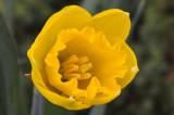 Daffodil opening small.jpg