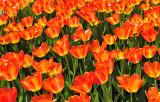 Tulips Orange Yellow small.jpg