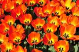 Tulips Orange Yellow open small.jpg