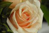 Aging rose Salem.jpg