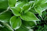 Hosta Leaves.jpg