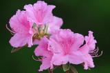 Pink Azalea Flowers.jpg