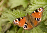 Peacock butterfly/Dagpauwoog 5