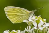 Green-veined white/Klein geaderd witje 6