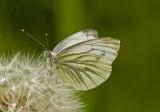 Green-veined white/Klein geaderd witje 11