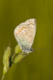 Common blue/Icarusblauwtje 23