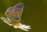 Common blue/Icarusblauwtje 27